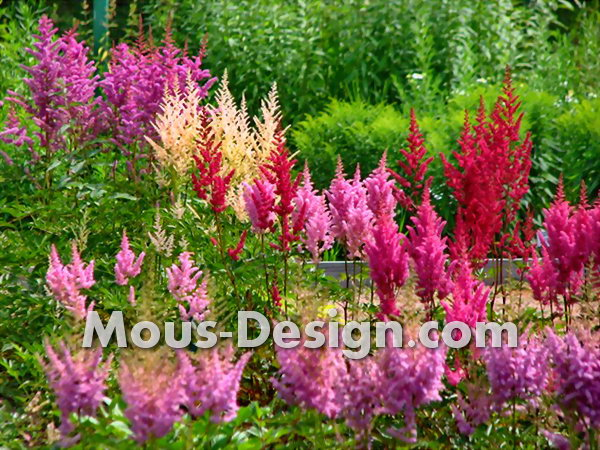Astilbe flowers in their own gardens