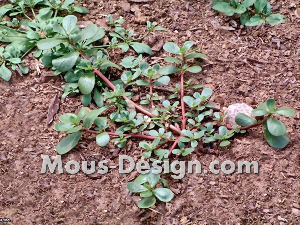 Ground cover against weeds - the best varieties