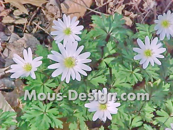 Planting Anemones - The Best Tips
