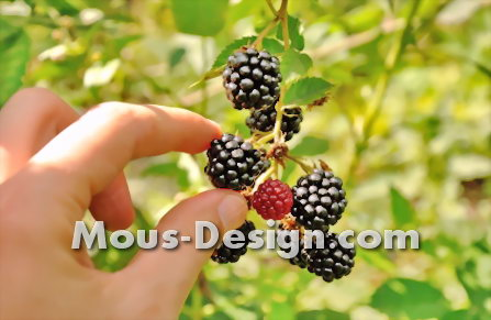 Blackberries - all about the roots