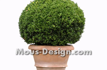 Boxwood attacked by pest? - Checklist