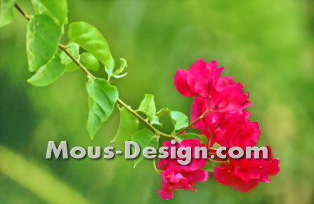 Cultivating Bougainvillea in the Garden