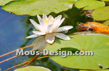 Aphids on Water Lilies - Tackling Tips